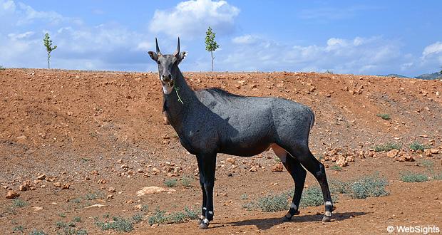 Nilgai antilope